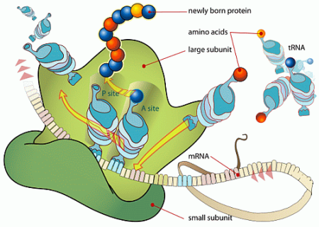 ribosome graphic