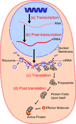 The step-by-step process of protein synthesis, controlled by the digital (= discrete state) information stored in DNA