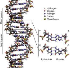 340px-DNA_Structure+Key+Labelled.pn_NoBB